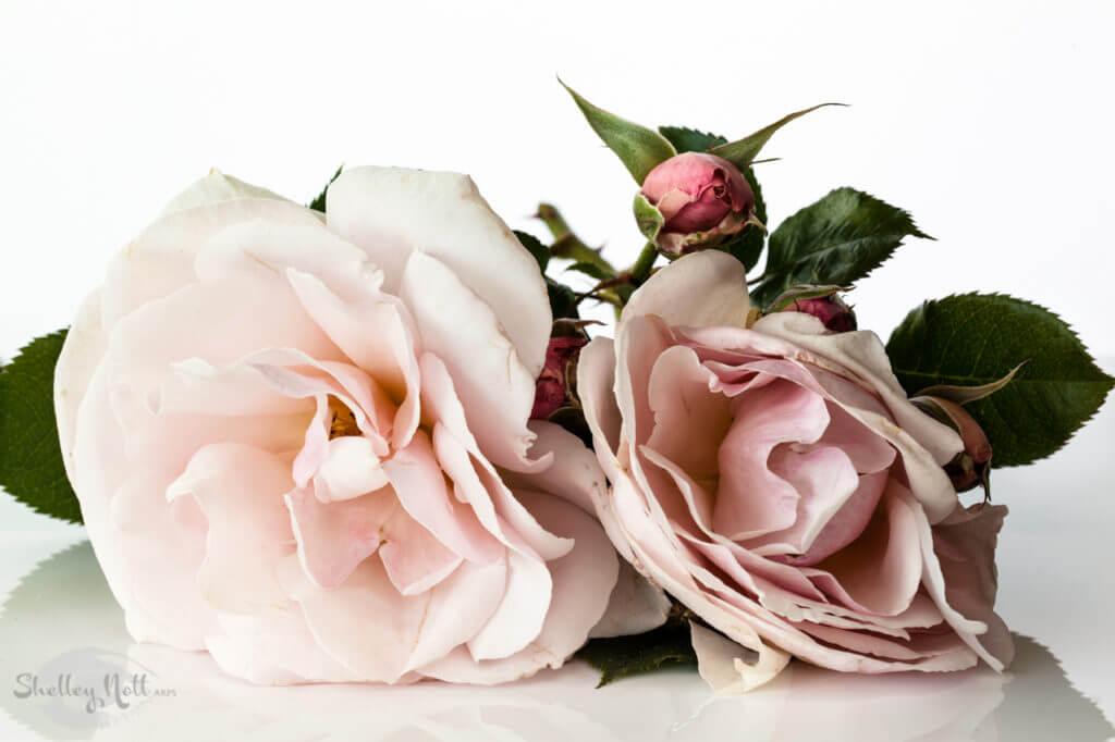 Elizabeth Cassons Roses
