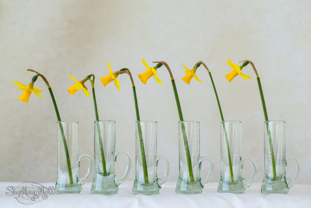 Marching daffodils