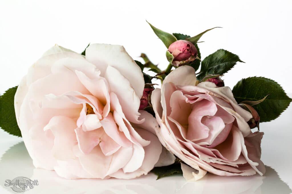 Elizabeth Cassons Rose